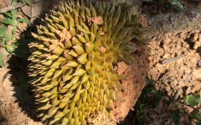Durian Farm Progress (May – July 2020)