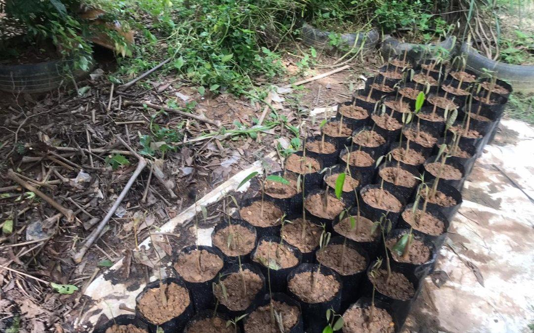 Durian Plantation Work Progress (August – October 2020)